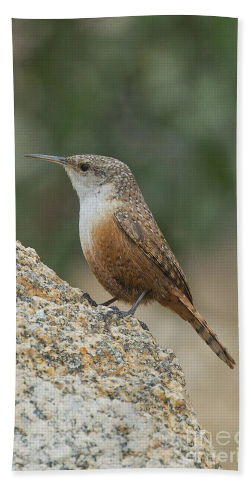 Canyon Wren Hand Towel featuring the photograph Canyon Wren by Anthony Mercieca