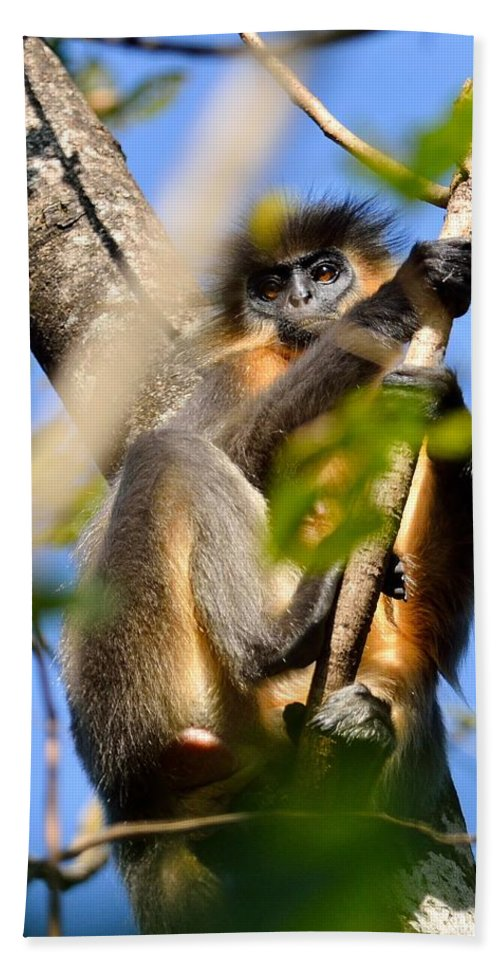 Capped Hand Towel featuring the photograph Capped Langur by Fotosas Photography