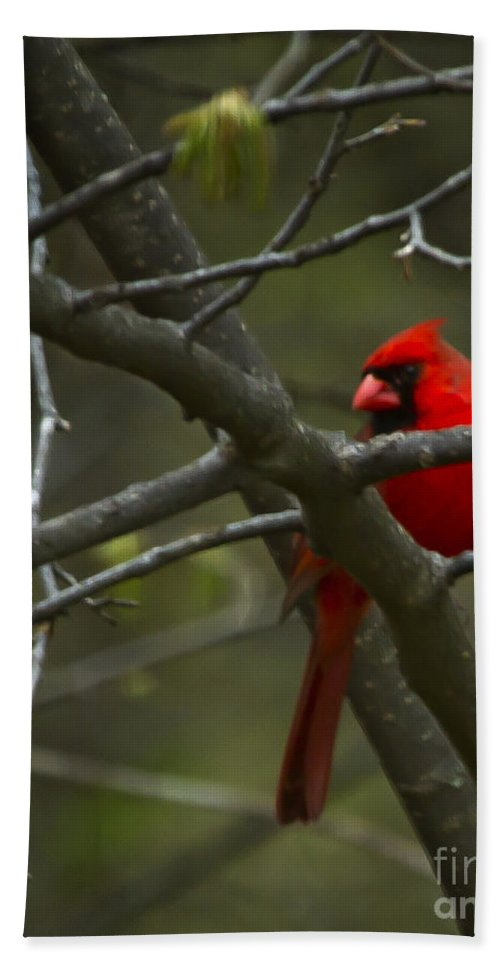Bird Hand Towel featuring the photograph Cardinal  #5032 by J L Woody Wooden