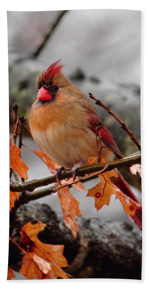 Cardinal Bath Sheet featuring the photograph Cardinal In The Rain by Karen Beasley