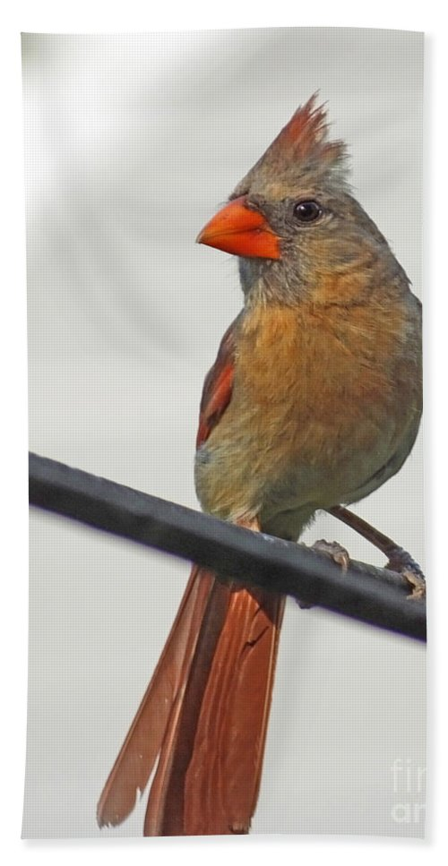 Cardinal Hand Towel featuring the photograph Cardinal Young Female by Lizi Beard-Ward