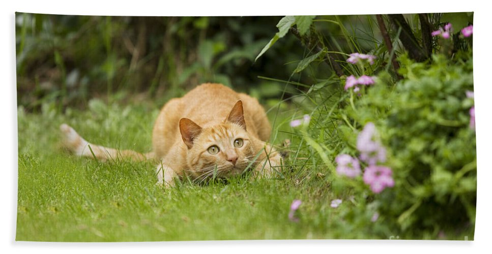 Cat Bath Sheet featuring the photograph Cat Watching Prey by Jean-Michel Labat