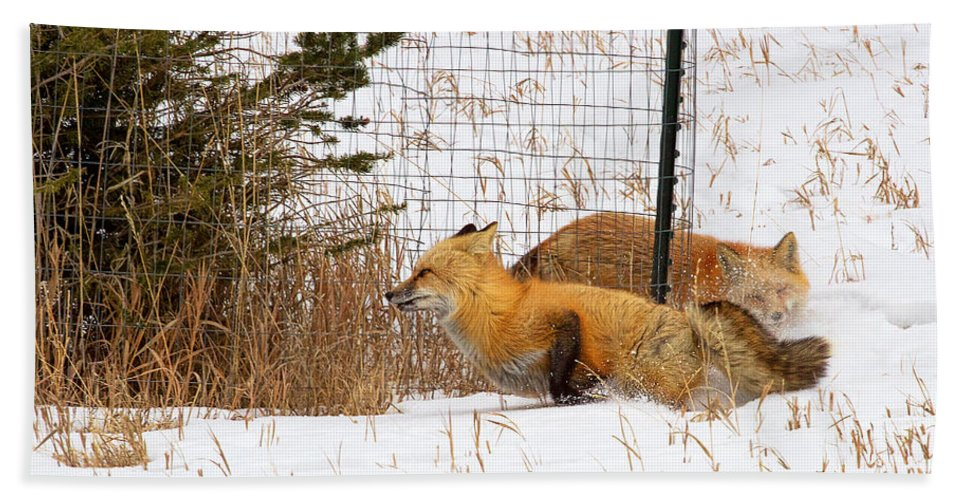 Red Fox Photograph; Red Fox Chase Photograph; Red Fox Chase Canvas Print Bath Sheet featuring the photograph Catch Me If You Can by Jim Garrison