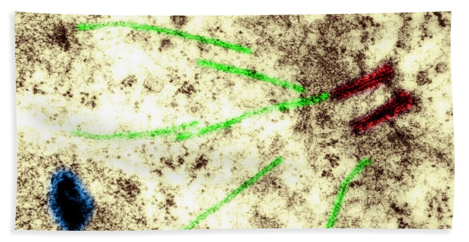 Histology Bath Towel featuring the photograph Centriole, Spindle Fibers, Chromosomes by Biology Pics