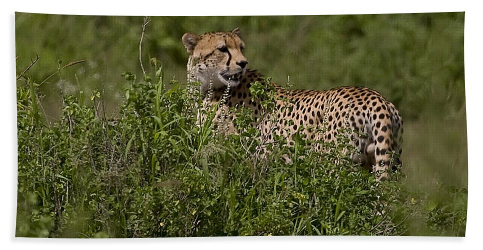 Acinonyx Jubatus Bath Sheet featuring the photograph Cheetah  #0089 by J L Woody Wooden