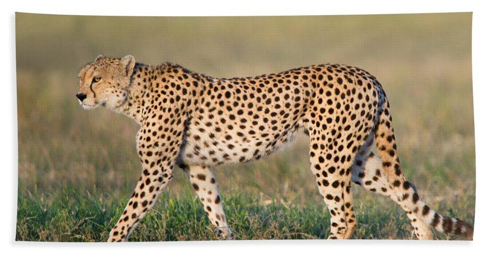 Photography Bath Sheet featuring the photograph Cheetah Acinonyx Jubatus Walking by Panoramic Images