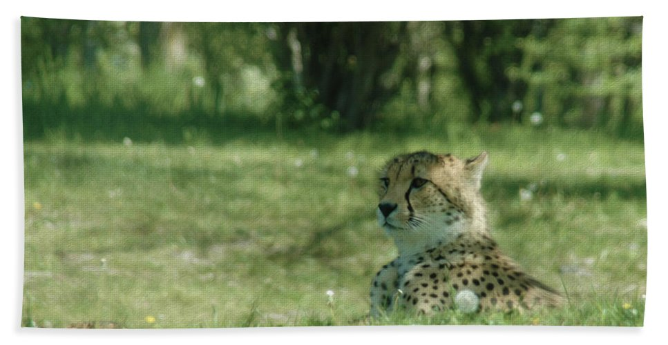 Cheetah At Rest Bath Sheet featuring the photograph Cheetah At Attention by Tracy Winter