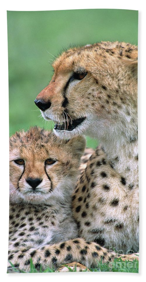 00345036 Bath Towel featuring the photograph Cheetah Mother And Cub by Yva Momatiuk John Eastcott