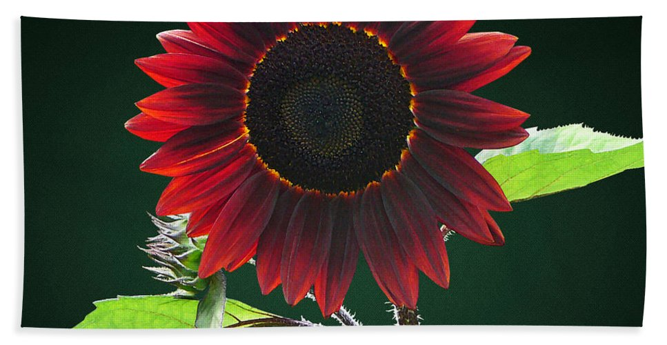 Sunflower Bath Towel featuring the photograph Cherry And Chocolate Sunflower by Susan Savad
