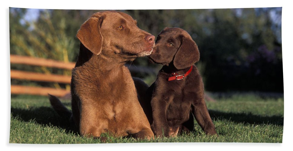 Dogs Bath Sheet featuring the photograph Chesapeake Bay Retrievers by Rolf Kopfle