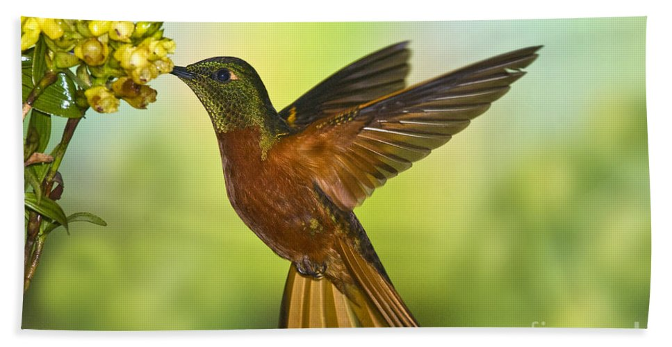 Animal Hand Towel featuring the photograph Chestnut-breasted Coronet by Anthony Mercieca
