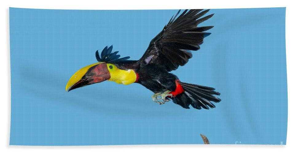 Animal Hand Towel featuring the photograph Chestnut-mandibled Toucan by Anthony Mercieca