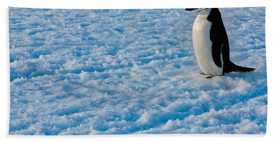 Antarctica Bath Sheet featuring the photograph Chinstrap Penguin by John Shaw