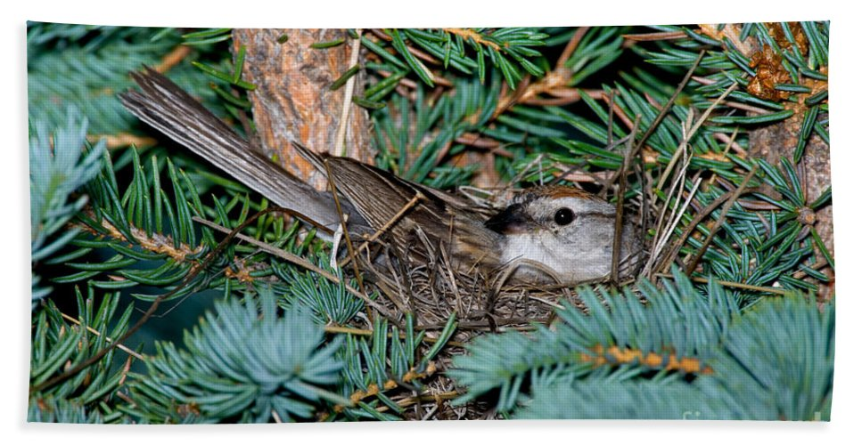 Fauna Hand Towel featuring the photograph Chipping Sparrow On Nest by Anthony Mercieca