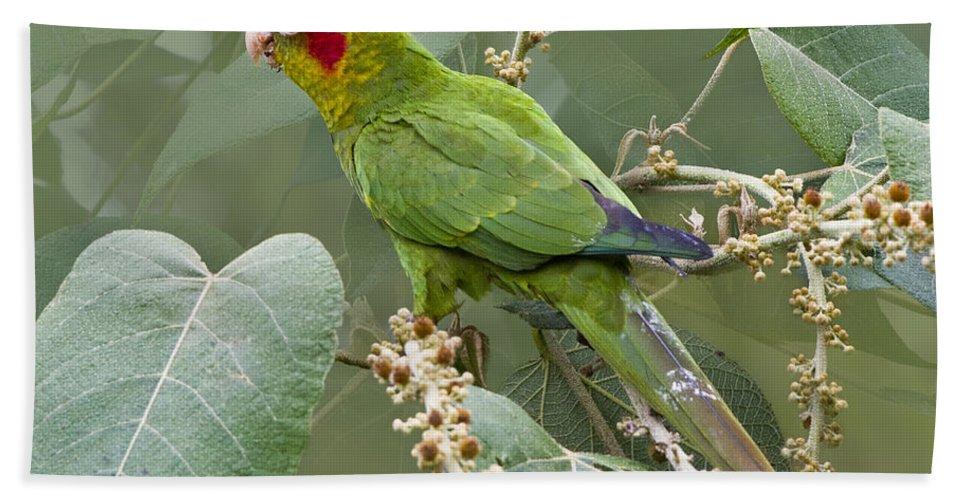 Parrot Bath Sheet featuring the photograph Chiriqui Conure 2 - Dp by Heiko Koehrer-Wagner