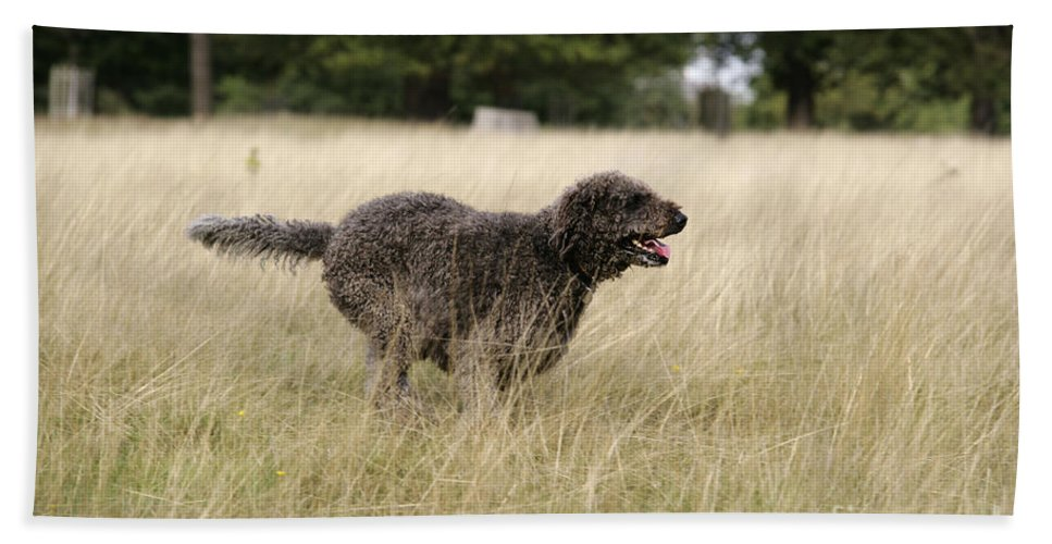 Labradoodle Bath Sheet featuring the photograph Chocolate Labradoodle Running In Field by John Daniels