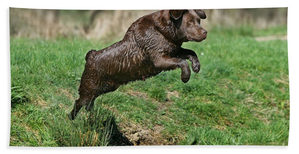 Labrador Retriever Bath Sheet featuring the photograph Chocolate Labrador Jumping by Jean-Michel Labat