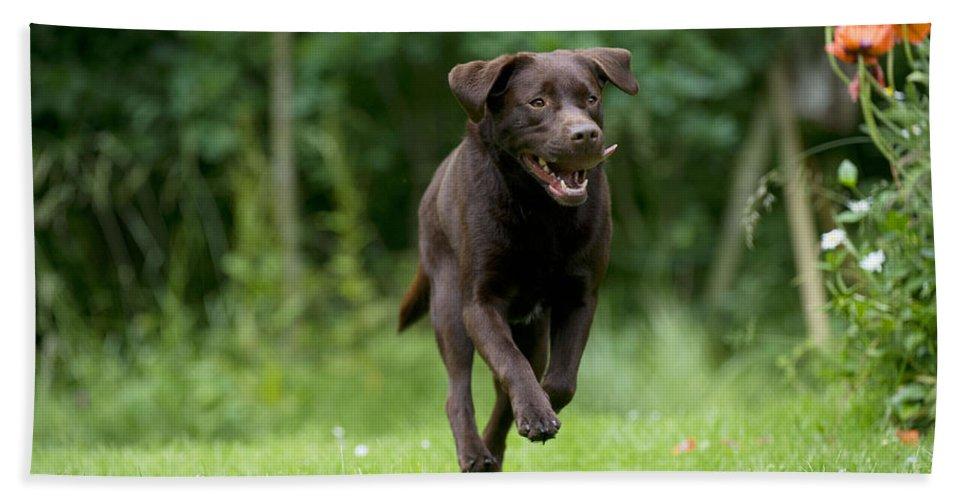 Labrador Retriever Bath Sheet featuring the photograph Chocolate Labrador Running by John Daniels