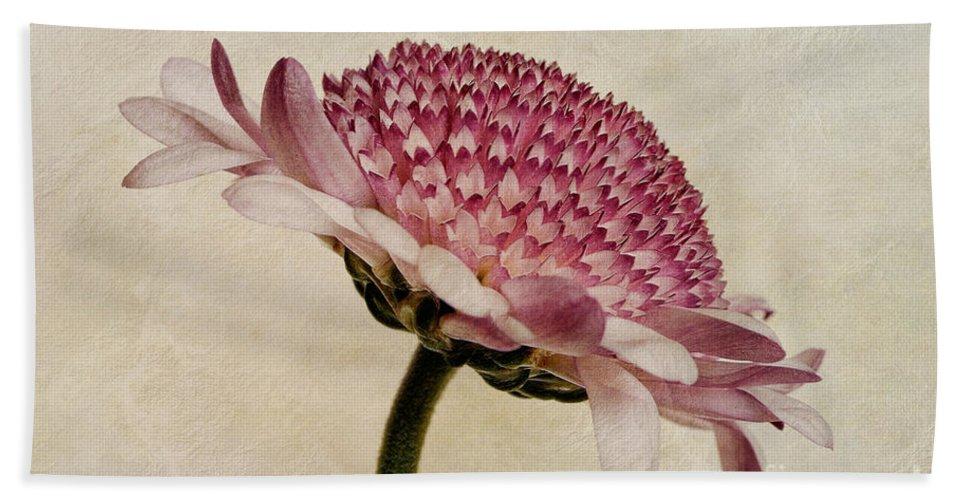Chrysanthemum Canvas Bath Sheet featuring the photograph Chrysanthemum Domino Pink by John Edwards