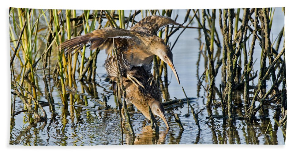 Clapper Rail Hand Towel featuring the photograph Clapper Rails Mating by Anthony Mercieca