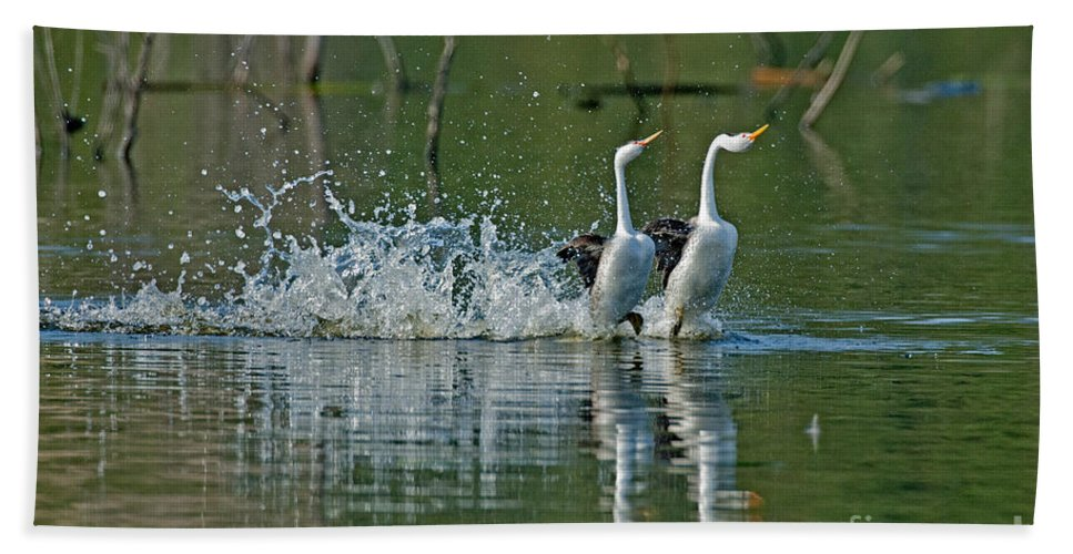 Fauna Hand Towel featuring the photograph Clarks Grebes Dancing by Anthony Mercieca