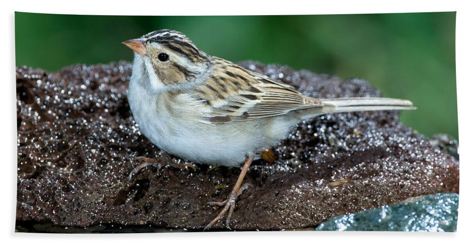 Fauna Hand Towel featuring the photograph Clay-colored Sparrow Spizella Pallida by Anthony Mercieca