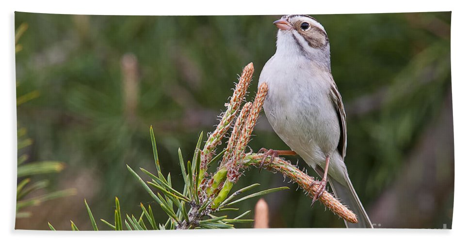 Clay-coloured Sparrow Hand Towel featuring the photograph Clay-coloured Sparrow Pictures 35 by World Wildlife Photography