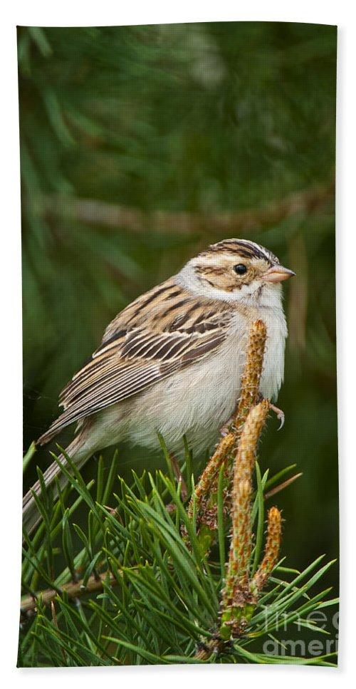 Clay-coloured Sparrow Hand Towel featuring the photograph Clay-coloured Sparrow Pictures 50 by World Wildlife Photography