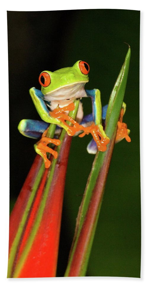 Photography Hand Towel featuring the photograph Close-up Of A Red-eyed Tree Frog by Animal Images