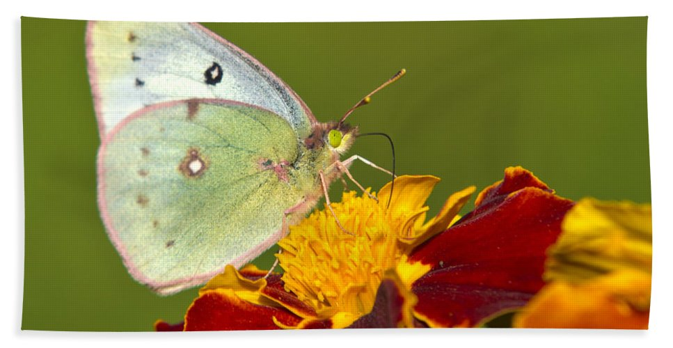 Butterflies Hand Towel featuring the photograph Clouded Sulphur Butterfly by Christina Rollo