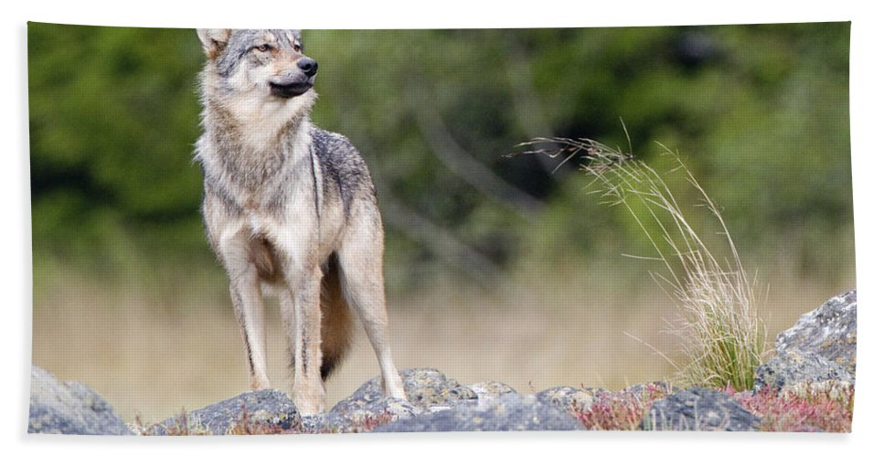 Gray Wolf Hand Towel featuring the photograph Coastal Wolf by Max Waugh