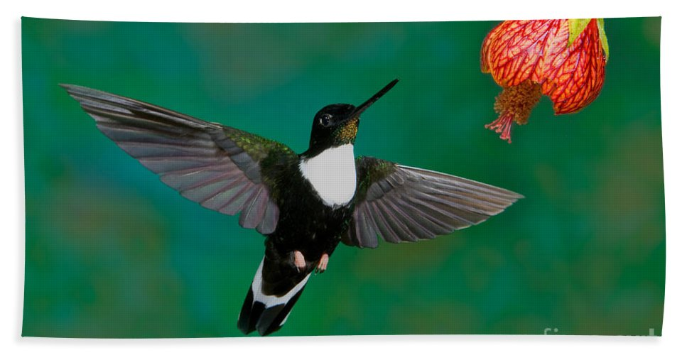 Animal Hand Towel featuring the photograph Collared Inca Hummngbird by Anthony Mercieca