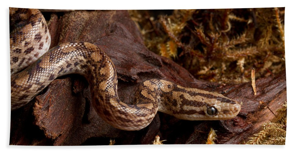 Animal Hand Towel featuring the photograph Colombian Rainbow Boa Epicrates Maurus by David Kenny
