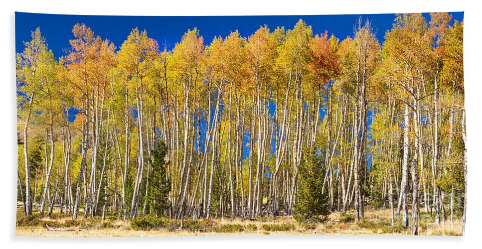 Autumn Bath Sheet featuring the photograph Colorful Aspen Panorama by James BO Insogna