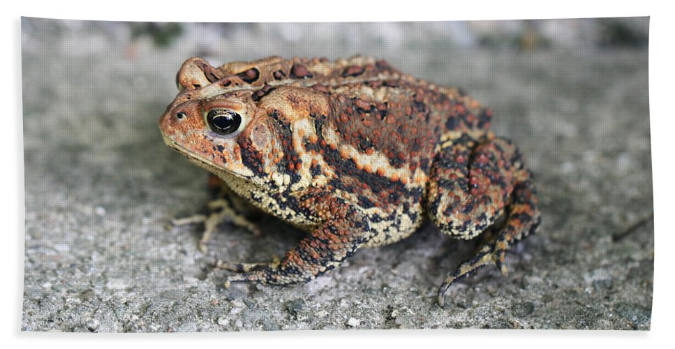 American Toad Hand Towel featuring the photograph Colorful Toady by Judy Whitton