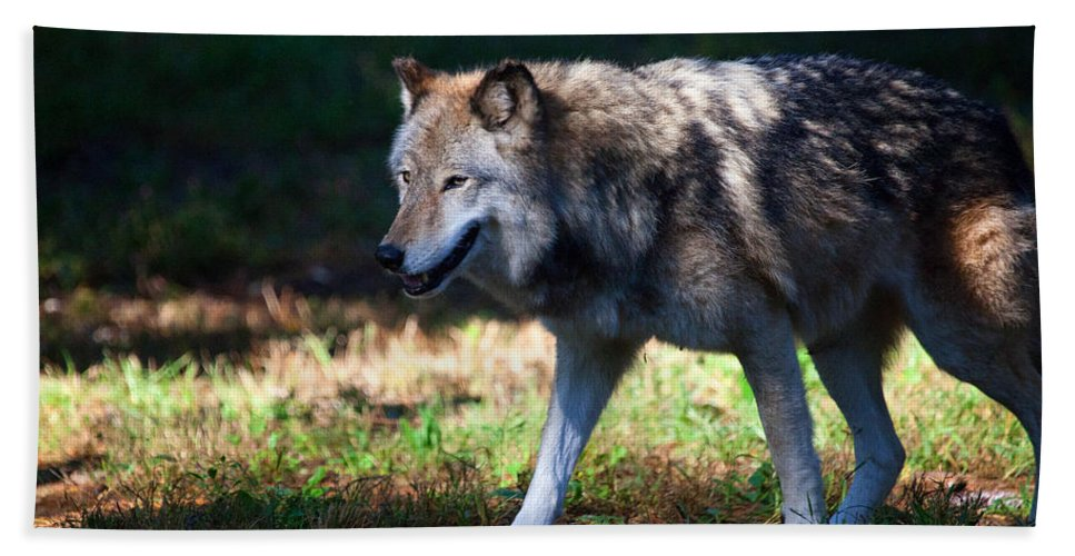 Wolf Bath Sheet featuring the photograph Colorful Wolf by Karol Livote