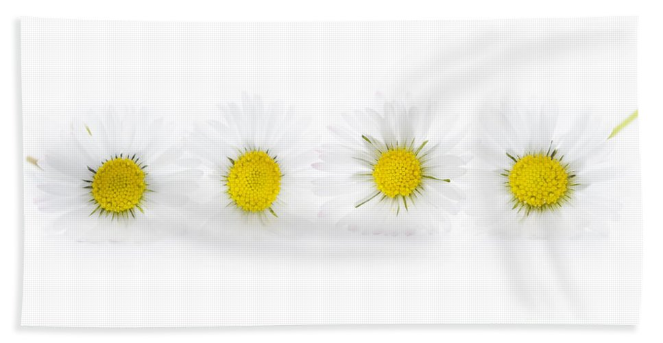 Daisy Hand Towel featuring the photograph Common English Lawn Daisies Studio Shot by Lee Avison