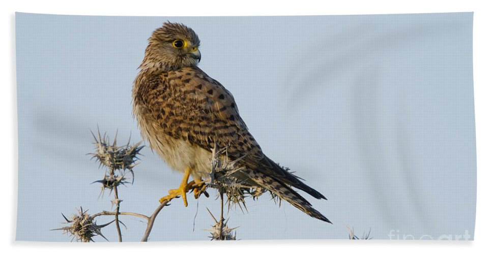 Common Kestrel Hand Towel featuring the photograph Common Kestrel Falco Tinnunculus 3 by Eyal Bartov