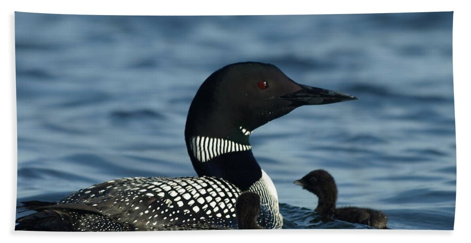 Peterson Nature Photography Common Loon Hand Towel featuring the photograph Common Loon Family by James Peterson