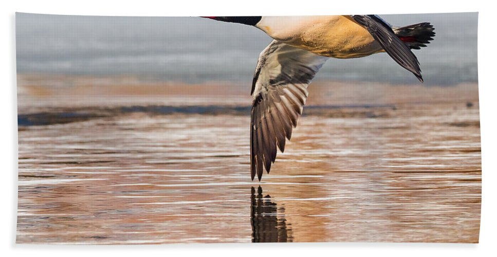 Duck Hand Towel featuring the photograph Common Merganser In Flight Square by Bill Wakeley