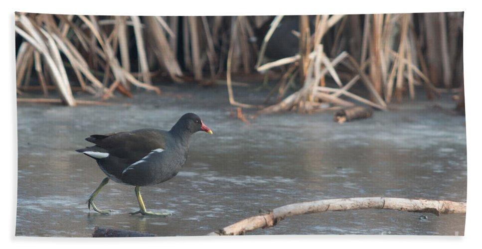 Common Moorhen Hand Towel featuring the photograph Common Moorhen Iced Lake by Jivko Nakev