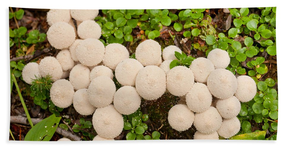 Autumn Hand Towel featuring the photograph Common Puffball Mushrooms Lycoperdon Perlatum by Stephan Pietzko