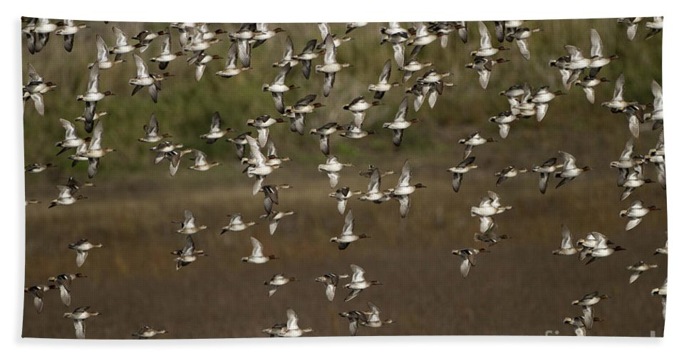 Common Teal Hand Towel featuring the photograph Common Teal Anas Crecca 1 by Eyal Bartov