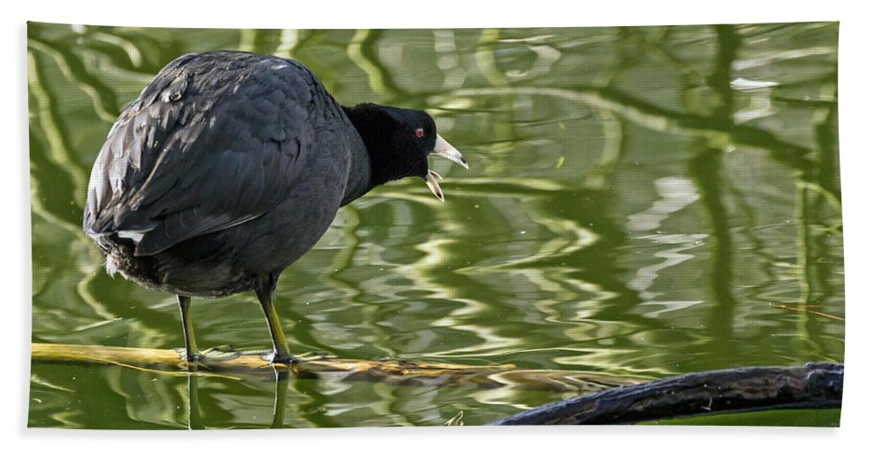 American Coot Hand Towel featuring the photograph Coot Calling by Kate Brown