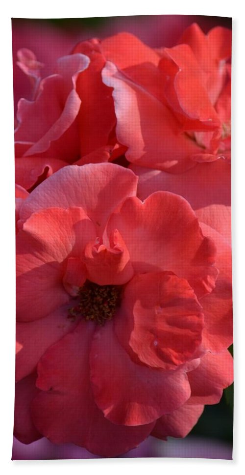 Coral Roses 2013 Hand Towel featuring the photograph Coral Roses 2013 by Maria Urso