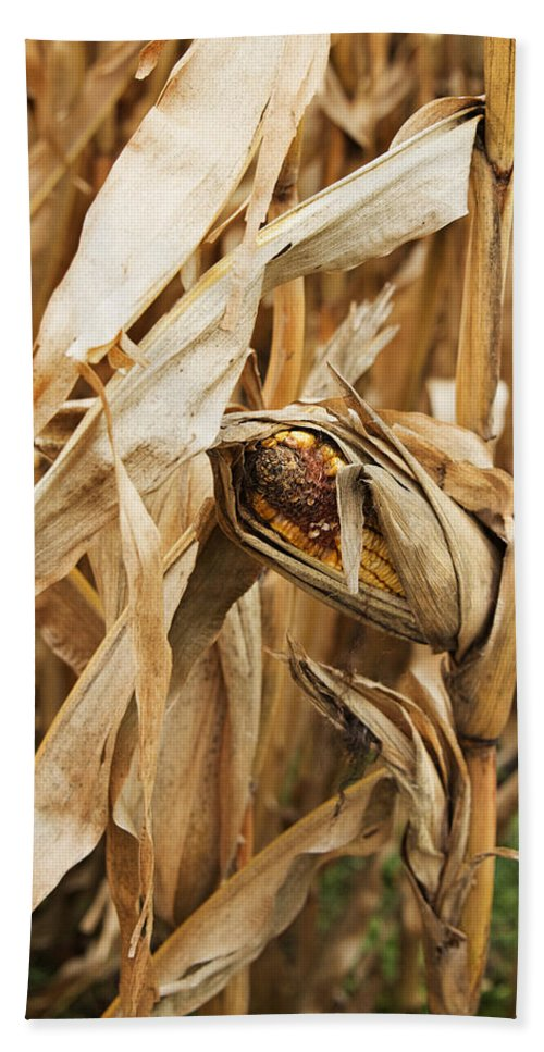 Corn Hand Towel featuring the photograph Corn On The Cob by Jayne Gohr