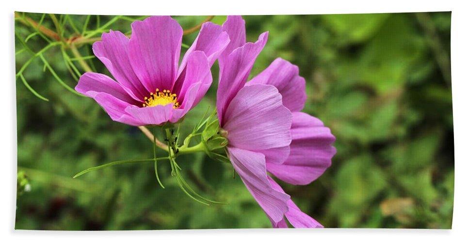 Cosmos Hand Towel featuring the photograph Cosmos Tickles Me Pink - Cosmos Caudatus by Mother Nature