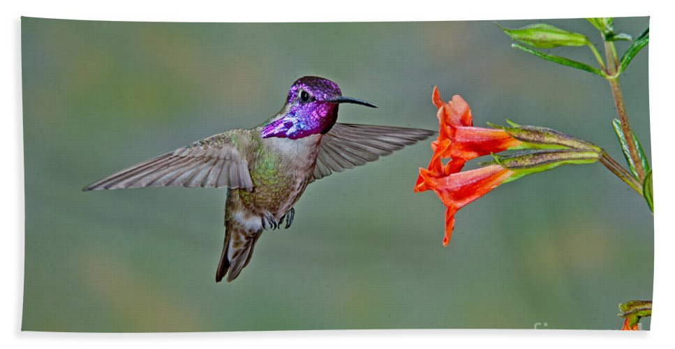 Animal Hand Towel featuring the photograph Costas Hummingbird At Flower by Anthony Mercieca
