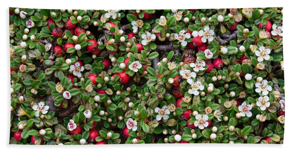 Cotoneaster Hand Towel featuring the photograph Cotoneaster Bush Background by Andrea Casali