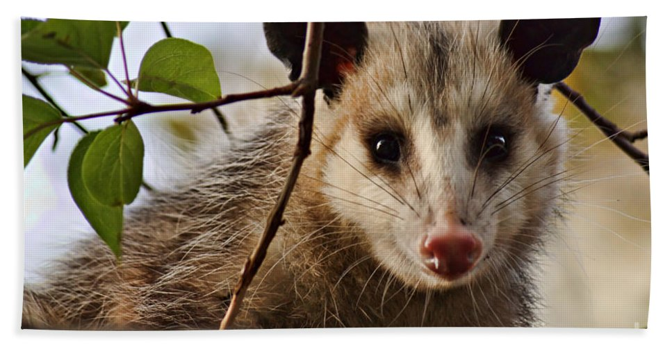 Possum Hand Towel featuring the photograph Coucou - Close-up by Nikolyn McDonald